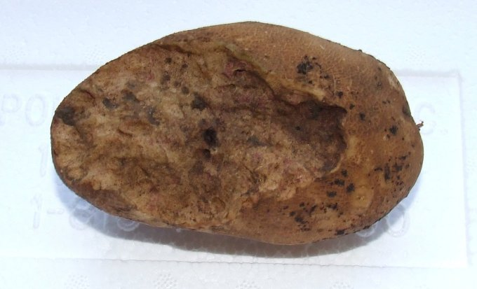 Image of a potato showing chewing damage